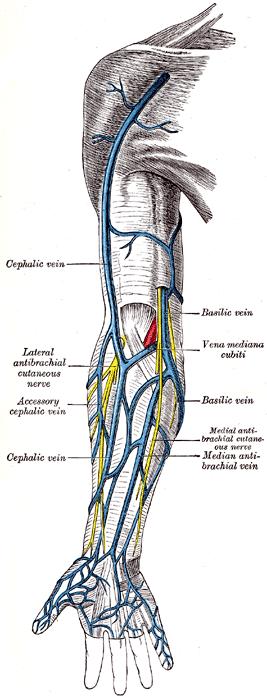 superficial veins