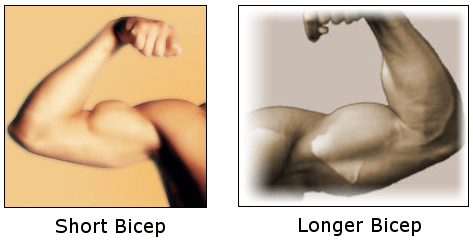 short vs longer bicep