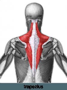 trapezius anatomy